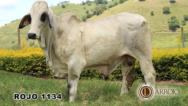 Bovino Corte Brahman Touro 20+@ Andrológico em dia - e-rural Imagens