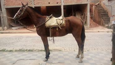 Equídeo Equino Mangalarga Marchador Não Registrado Cavalo Castanha Marcha de Centro - e-rural Imagens