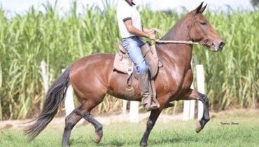 Equídeo Equino Mangalarga Marchador Registrado Égua Castanha Marcha Batida - Pastar Imagens