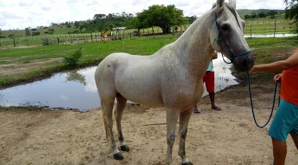 Equídeo Equino Mangalarga Não Registrado Cavalo Tordilha Marcha Batida - e-rural Imagens
