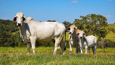 Bovino Corte Brahman Vaca 20+@ Andrológico em dia - e-rural Imagens
