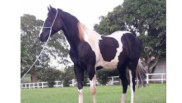 Equídeo Equino Paint Horse Registrado Potra Pampa Marcha Picada - e-rural Imagens