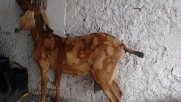Caprino Leite Anglonubiana Matriz 2-3l - e-rural Imagens