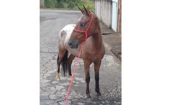 Equídeo Equino Mangalarga Marchador Não Registrado Cavalo Rosilha Marcha Picada - e-rural Imagens