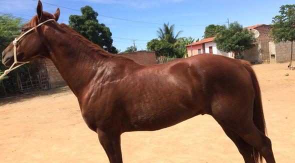 Equídeo Equino Quarto de Milha Não Registrado Cavalo Alazã Corrida - e-rural Imagens