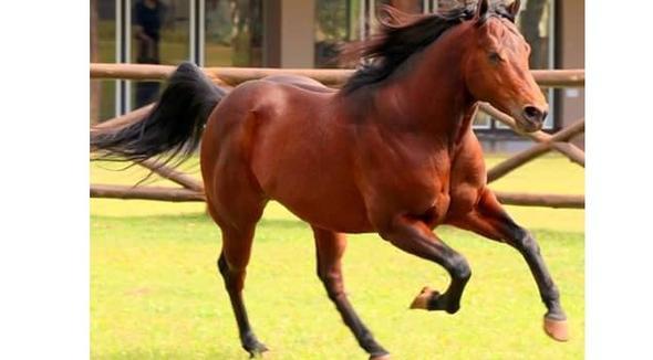 Equídeo Equino Quarto de Milha Registrado Cavalo - e-rural Imagens