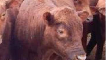 Bovino Corte Aberdeen Angus Novilha 6-10@ - e-rural Imagens