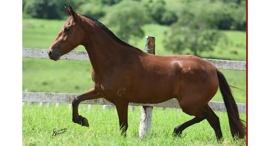 Equídeo Equino Mangalarga Marchador Registrado Égua Castanha Marcha Picada - e-rural Imagens
