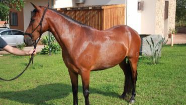 Equídeo Equino Mangalarga Marchador Registrado Cavalo Castanha Marcha Batida - Pastar Imagens