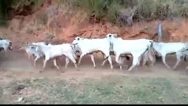 Bovino Corte Nelore Vaca 16-20@ - Pastar Imagens