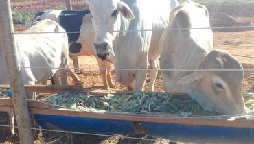 Bovino Corte Nelore Reprodutor Andrológico em dia - e-rural Imagens