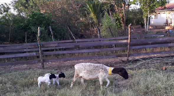Ovino Corte Dorper Matriz - e-rural Imagens