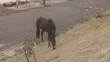 Equídeo Equino Diversos Não Registrado Cavalo Preta Marcha Picada - e-rural Imagens