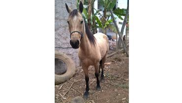 Equídeo Equino Quarto de Milha Não Registrado Cavalo Baia - e-rural Imagens