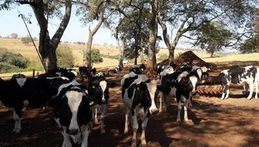 Bovino Leite Mestiço - e-rural Imagens