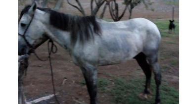 Equídeo Equino Diversos Não Registrado Cavalo Tordilha Trabalho - e-rural Imagens