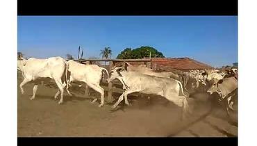 Bovino Corte Nelore Novilha 11-15@ - e-rural Imagens
