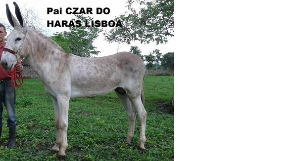 Equídeo Asinino Pêga Não Registrado Garanhão Ruã Marcha Picada - e-rural Imagens