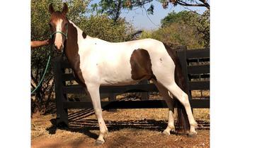 Equídeo Equino Pampa Registrado Cavalo Pampa Marcha Picada - e-rural Imagens