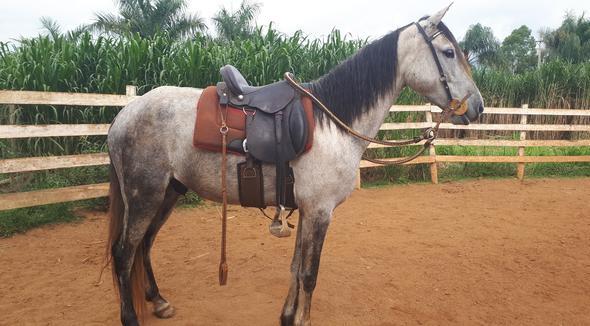 Equídeo Equino Mangalarga Marchador Não Registrado Cavalo Tordilha Marcha Picada - e-rural Imagens