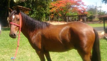 Equídeo Equino Diversos Não Registrado Cavalo Castanha Marcha Batida - e-rural Imagens