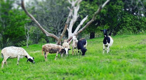 Ovino Corte Dorper Ovelha 66-80kg - e-rural Imagens