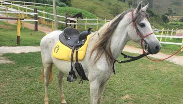 Equídeo Equino Mangalarga Marchador Não Registrado Cavalo Tordilha Marcha Batida - e-rural Imagens