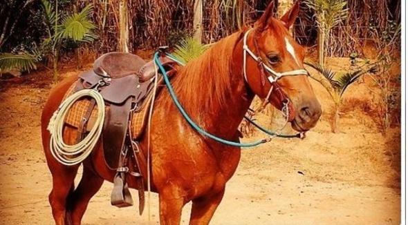 Equídeo Equino Quarto de Milha Registrado Égua Alazã Trabalho - e-rural Imagens