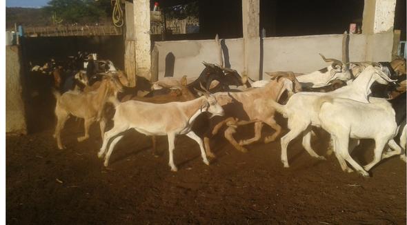 Caprino Corte Mestiço Bode 35-50kg - e-rural Imagens