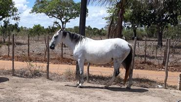 Equídeo Equino Mangalarga Não Registrado Égua Rosilha Marcha Picada - e-rural Imagens