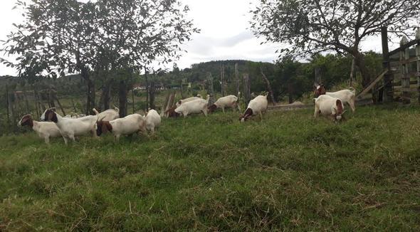 Caprino Corte Boer Bode - e-rural Imagens