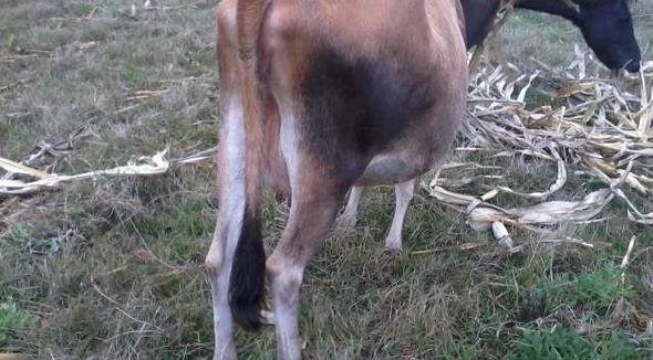 Bovino Leite Jersey Vaca 16-20l - Pastar Imagens