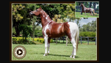 Equídeo Equino Mangalarga Registrado Cavalo Pampa - e-rural Imagens