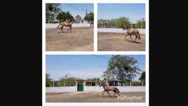 Equídeo Equino Mangalarga Registrado Potro - e-rural Imagens
