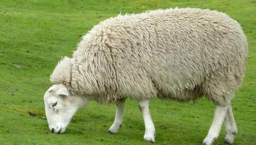 Ovino Dupla Aptidão Romney March Matriz - e-rural Imagens