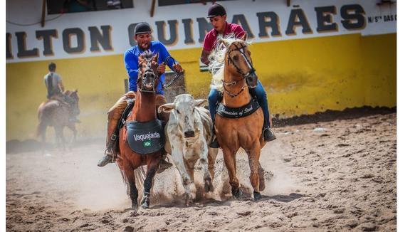 Equídeo Equino Quarto de Milha Registrado Garanhão Baia Corrida - e-rural Imagens