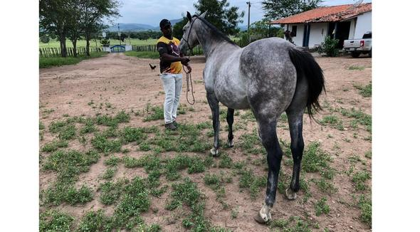 Equídeo Equino Quarto de Milha - e-rural Imagens