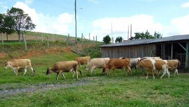 Bovino Leite Jersey Vaca 20-30l - Pastar Imagens