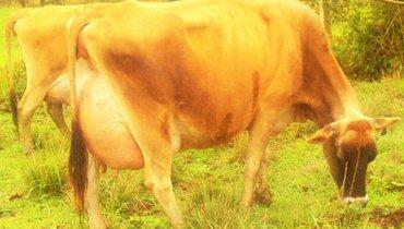 Bovino Leite Jersey Vaca 30+l - Pastar Imagens