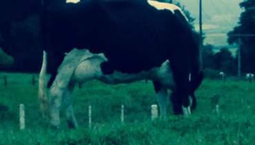 Bovino Leite Girolando Vaca 11-15l - Pastar Imagens