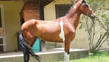 Equídeo Equino Mangalarga Não Registrado Cavalo Pampa - Pastar Imagens