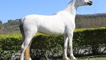 Equídeo Equino Mangalarga Registrado Égua Tordilha - Pastar Imagens