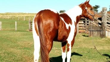 Equídeo Equino Paint Horse Registrado Potro Pampa Trabalho - Pastar Imagens