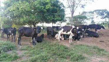 Bovino Leite Girolando Vaca 16-20l - Pastar Imagens