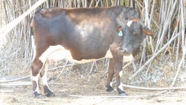 Bovino Leite Girolando Vaca 20-30l - Pastar Imagens
