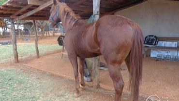 Equídeo Equino Quarto de Milha Registrado Cavalo Alazã Trabalho - Pastar Imagens