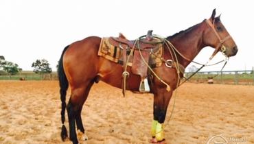 Equídeo Equino Quarto de Milha Registrado Cavalo Castanha Trabalho - Pastar Imagens