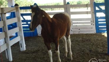 Equídeo Equino Paint Horse Registrado Potra Castanha Trabalho - Pastar Imagens