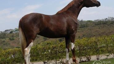 Equídeo Equino Mangalarga Registrado Égua Alazã - Pastar Imagens