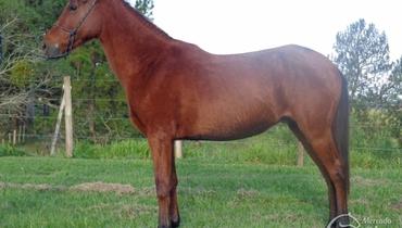 Equídeo Equino Mangalarga Marchador Registrado Cavalo Castanha Marcha de Centro - Pastar Imagens